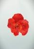 Аромакулон Орхидея красная